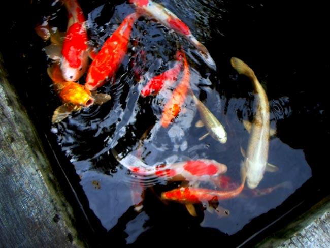 Рыбы в Убуде