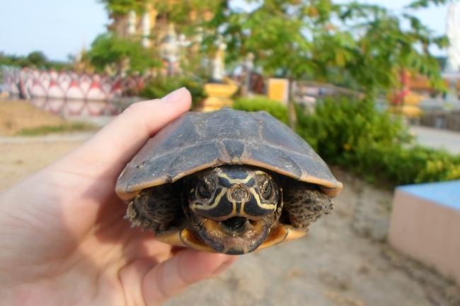 Черепаха на Самуи